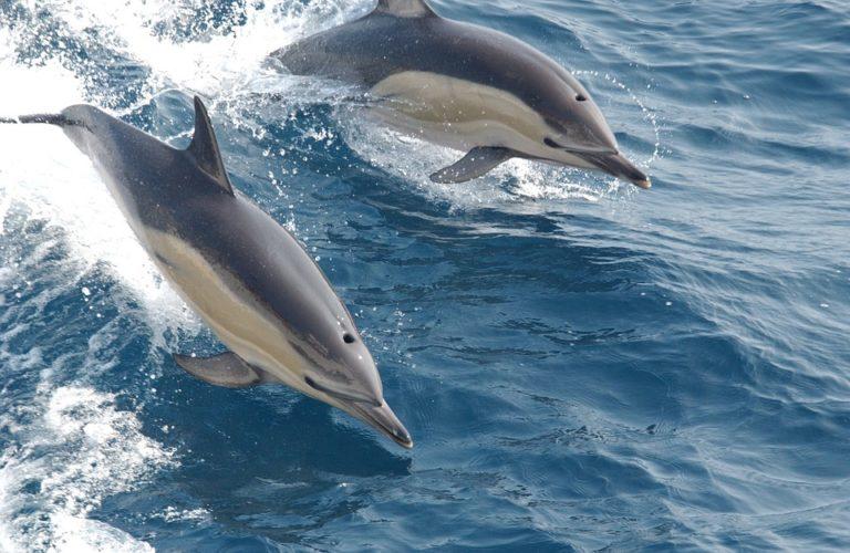 Gavagai AB développe une intelligence artificielle capable de comprendre une multitude de langues, dont celle des dauphins