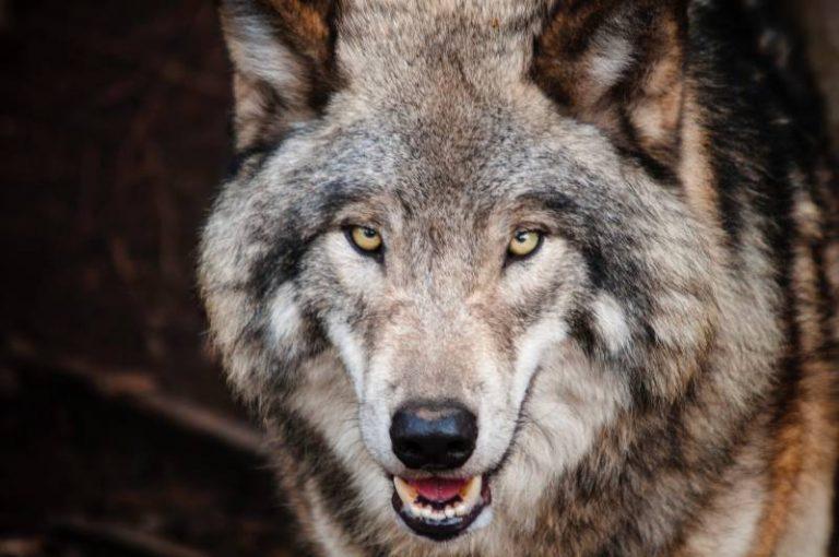 Non, l'intelligence artificielle n'est pas le grand méchant loup !