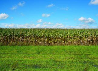corn-2735619_1280
