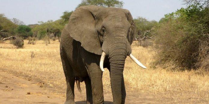 Une informaticienne de l'université de Bath a développé un algorithme permettant de surveiller le nombre d'éléphants restant dans la savane africaine