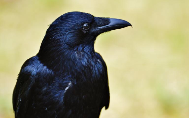 Google obligé d'arrêter son service de livraison par drone à cause d'attaques de corbeaux protégeant leur nid